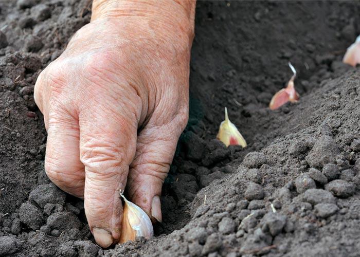 cultivo del ajo