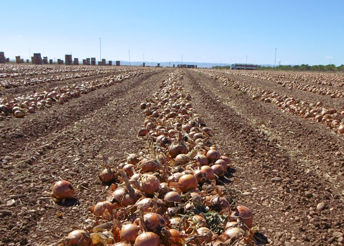 oignon de Castilla la Mancha